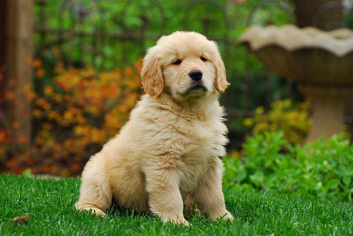 Golden retriever, valp, Hundarnas, Söt, Husdjur, kul, djur