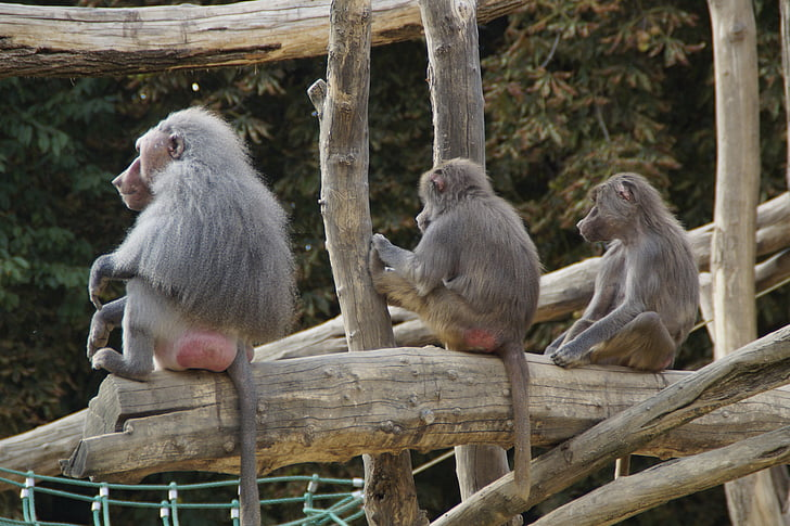 baboons, sit, family, monkey, animal, zoo, zoo animal