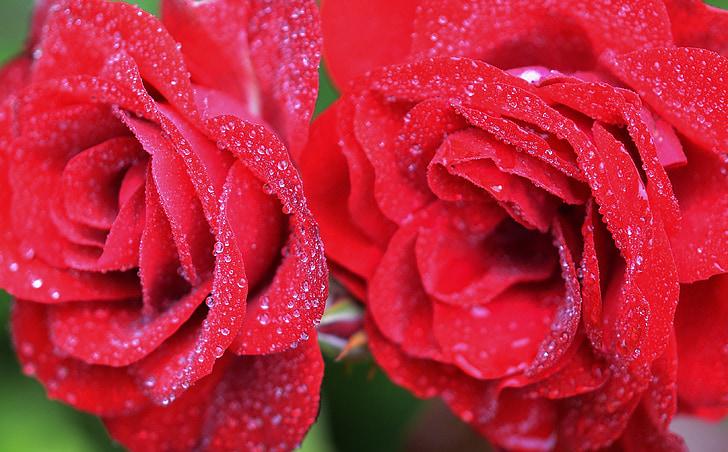 ruže, červená, kvet, Príroda, kvet, Kvetinová, Zelená