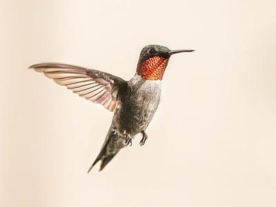 Colibrì, di volo, Ritratto, fauna selvatica, natura, volo, Ali