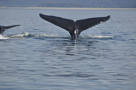 whale, tail, wildlife, sea, animal, humpback Whale, nature