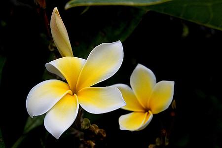 꽃, plumeria, rubra, 열 대, 꽃, 꽃잎, 공장
