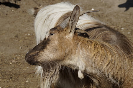 goat, scratch, horns, fur, scratching themselves
