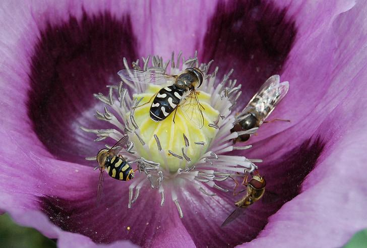mosca de voltar, insecte, close-up, sírfid, pol·len, ales, flor