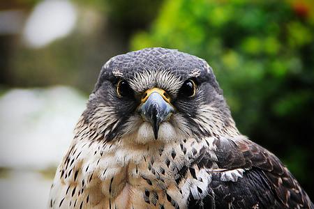 Hawk, Falcon, lintu, sulka, Hunter, olento, Predator