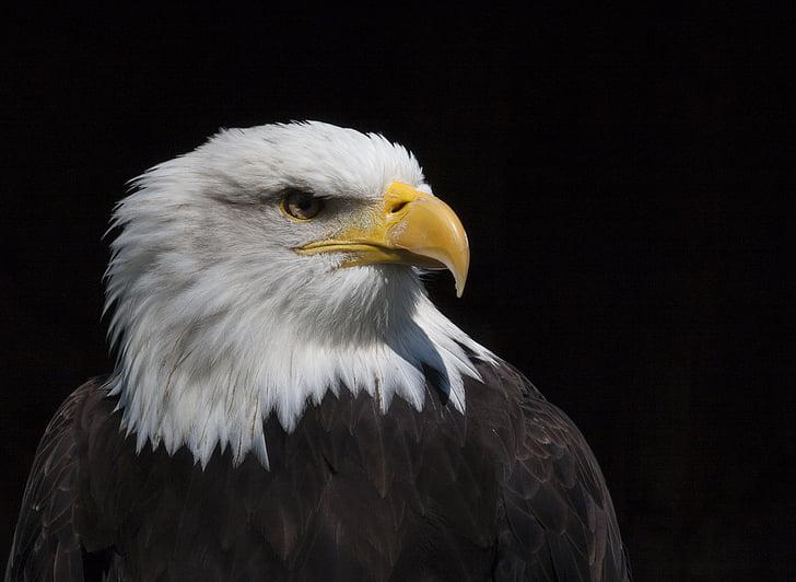 bird, adler, raptor, bird of prey, bald eagle, bald eagles, falconry