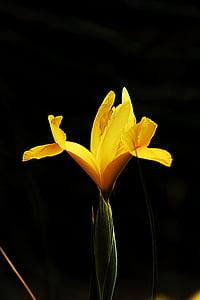 Makro, lilled, Lähis Joonis, loodus, taim, Kaunis, kollane