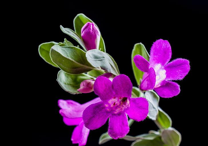 Wild flower, bloem, Blossom, Bloom, paars