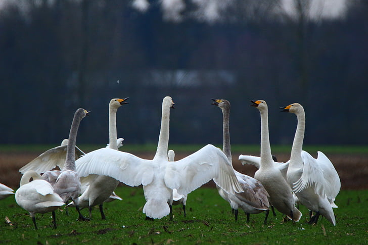 Cigne, Cigne cantaire, ocell, cignes, ramat d'ocells, aus migratòries, ocells