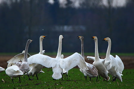 swan, whooper swan, bird, swans, flock of birds, migratory bird, birds