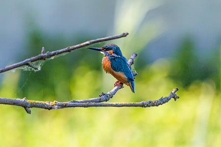 Vodomar, ptica, šarene, priroda, perje, pero, lijepa