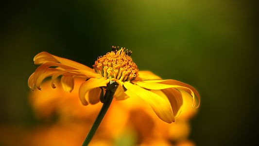 lill, Wild flower, loodus, Bloom, makron, Aed, kollane