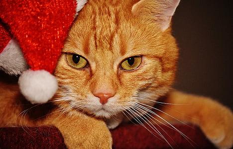 котка, червен, Коледа, Дядо Коледа шапка, Смешно, Сладък, скумрия