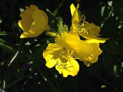 květiny, žlutá, Příroda, žluté květy, jaro, květ, závod