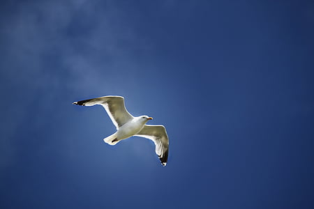 lokki, lento, siivet, taivas, lintu, Dom, Flying