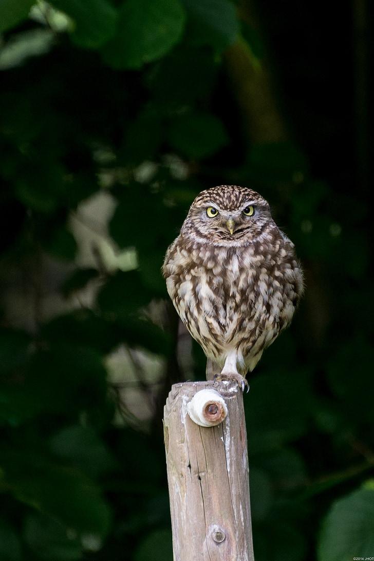 owls, birds, nature, animals, little owl, owl, bird