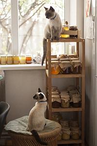 猫, 蜂蜜, 猫, シャム猫, ストレージ