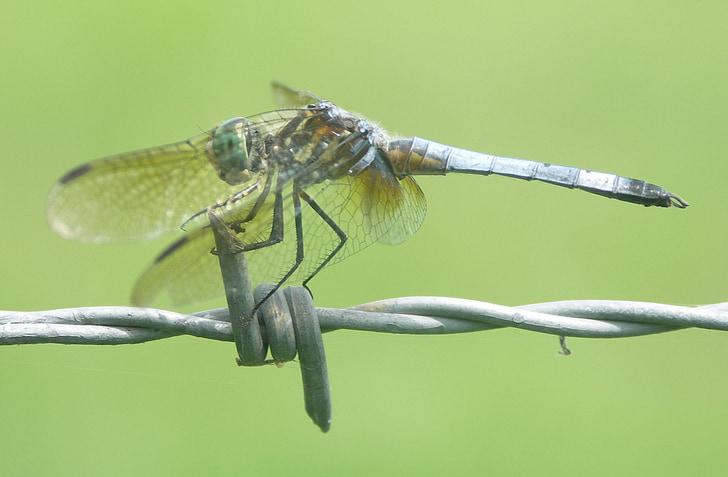 spāre, kukainis, bug, spārni, daba, ārpus, tuvplāns