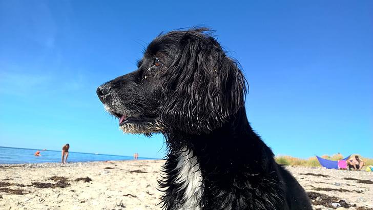 hond, hond op strand, blauwe hemel, strand, meeste strand, leuk