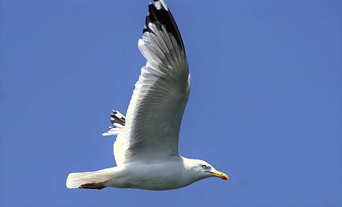 martı, gökyüzü, sinek, kuş, mavi, kanat, Uçuş