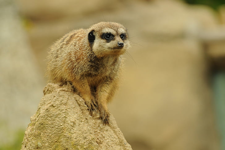 zoo, animal, meerkat