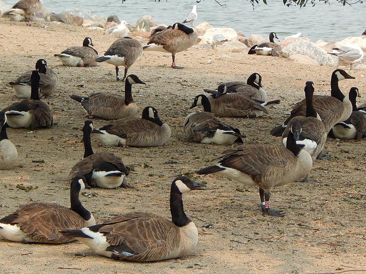 Kanados žąsys, paukščiai, žąsys, Kanada, vandens paukščiai, Laukiniai gyvūnai, Gamta