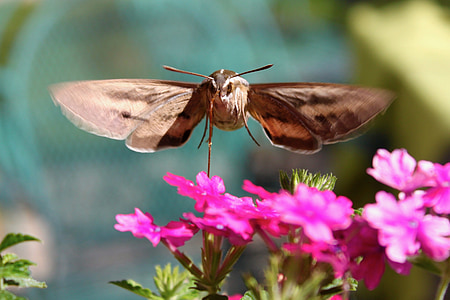 hummingbird moth, hawk-moth, insect, garden, nature, nectar, flower