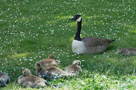 animals, birds, waterfowl, goose canadian