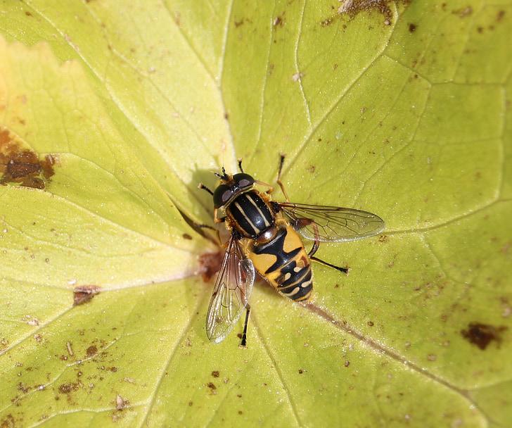 muša, Leaf, makro, spārni