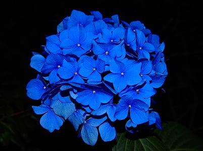 Hortènsia, flor, flor, flor, planta de jardí, blau, bonica