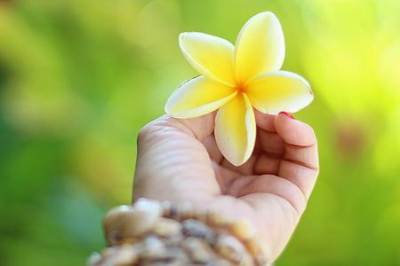 하와이, plumeria, 열 대, 꽃, 여름, 꽃, 자연