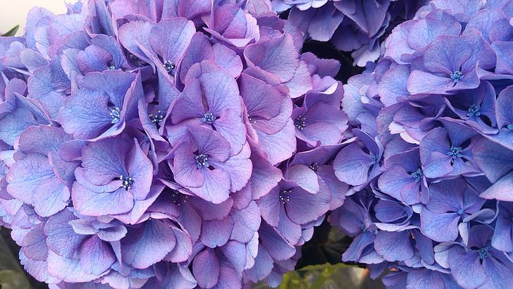 Hortènsia, planta, jardí, pètals blaus, flor
