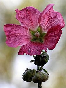 mályva, Stock rose, Blossom, Bloom, bud, mályvarózsa-virág, kert