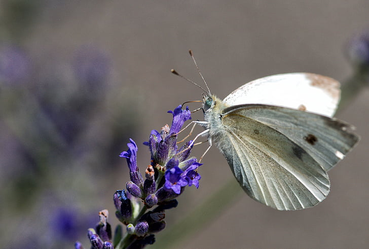 pieride rave, butterfly, insect, nature, moth, garden, animal
