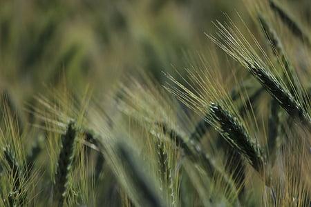 Viljapõllu, Spike, nisu, tera, teravilja, väli, põllumajandus