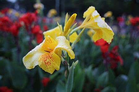 kollane lill valdkonnas, märg, troopiliste lillede, looduslik lill, Aed, aiandus