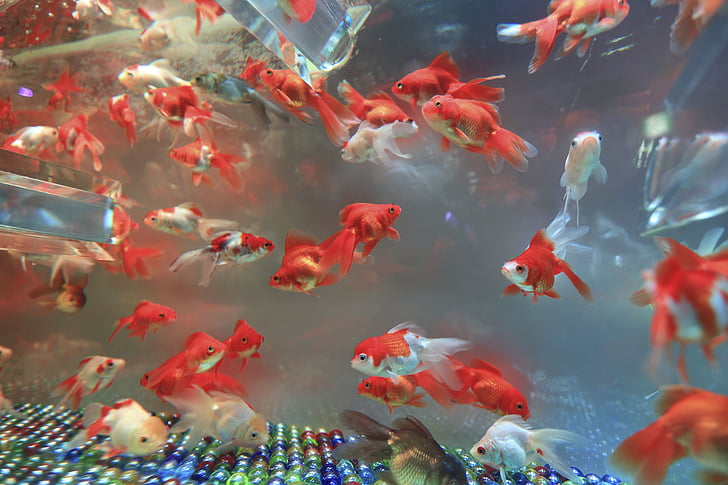 Аквариум, мрамор, Рыба, плавник, воды, Подводный, животное