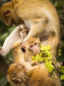 micos, primats, animals, Selva, bosc, animal, mico