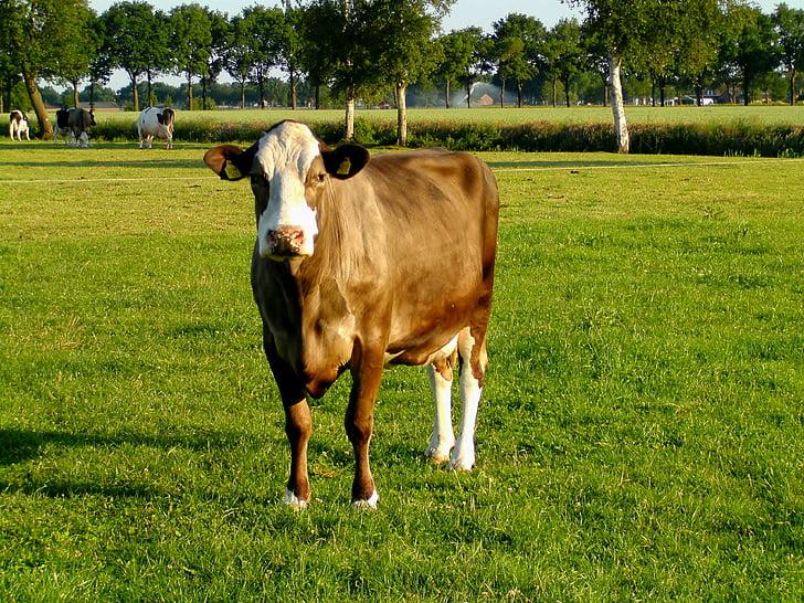 vaca, l'agricultura, les pastures