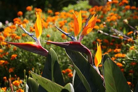 flower, tropical flower, bird of paradise