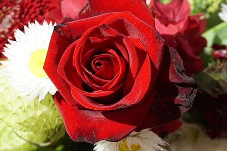 Rosa, vermell, l'amor, casar-se amb, dia de Sant Valentí, rosa vermella, flor
