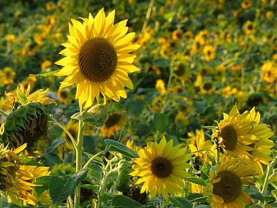Sun flower, väli, suvel, kollane, lill, päevalille välja