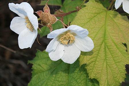 flor, blanc, flor blanca, RAM