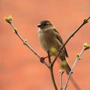 Sperling, Songbird, врабче, птица, природата, клон, седи