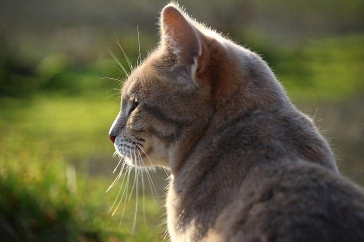Indijska velika maca fotografija