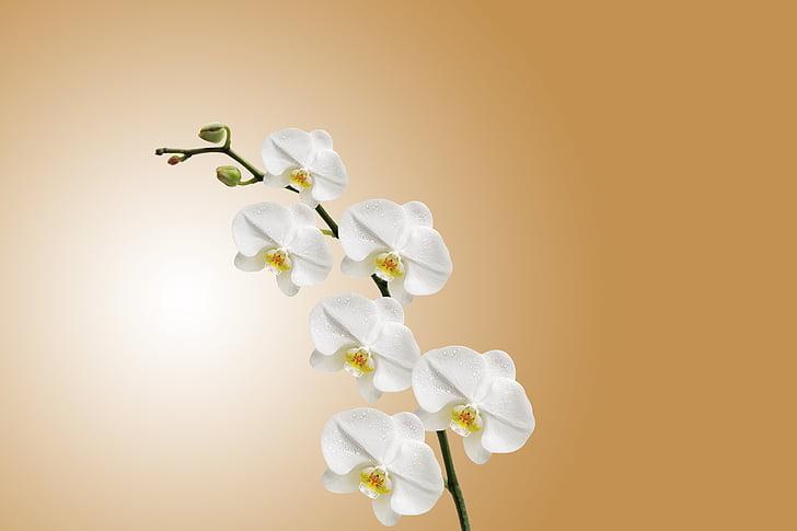 白色, 兰科植物, 背景, 花, 自然, 工作室, 射击