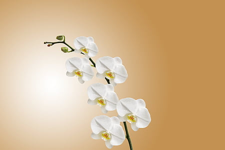 white, orchidaceae, background, flower, nature, Studio, shot