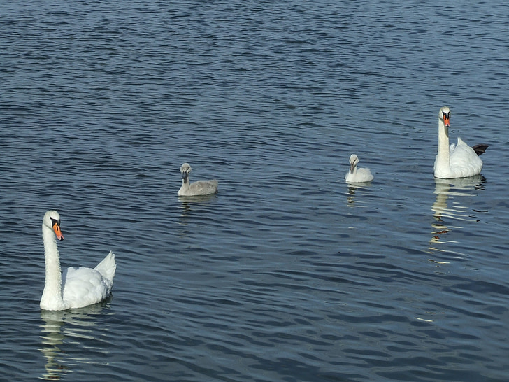 бебе лебеди, лебеди, вода, лебед семейство