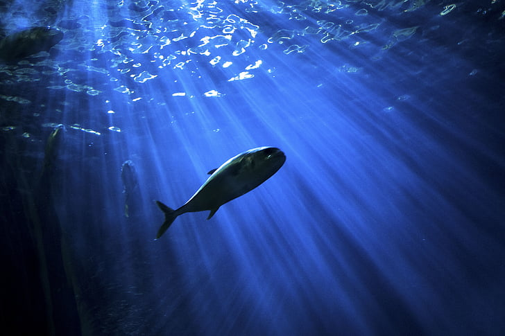 fish, underwater, sea, ocean, water, blue, animal