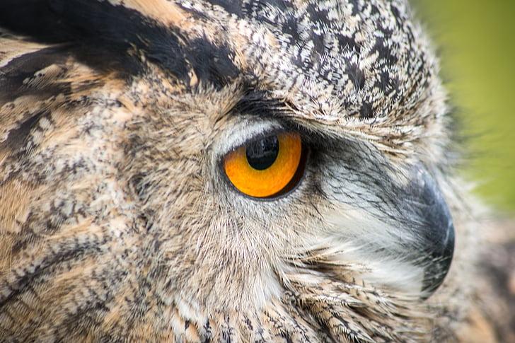 owl, bird, head, beak, wild, prey, eye